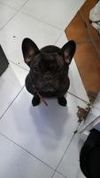 Jadeo en perros, Bulldog francés