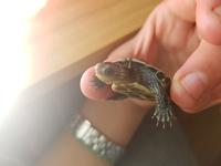 Wily, mi reptil tortuga hembra, tiene nubes o película transparente blanca en los ojos