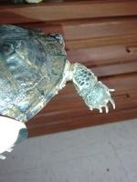 Juancho, mi reptil tortuga de orejas rojas macho, tiene heridas