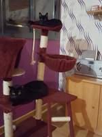 Zarpas, mi gato cruce de común europeo macho, tiene hinchazón testicular