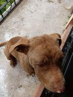 Canela, mi perro pit bull hembra, tiene sed excesiva, ojos rojos y secreción ocular