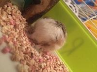 Celebro, mi roedor hámster enano de roborovski macho, tiene pérdida de pelo, sed excesiva y pérdida de piel