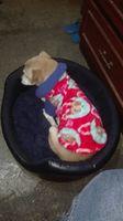 Pequeño, mi perro cruce de chihuahueño macho, tiene dificultad al caminar o levantarse, jadeo y inclina la cabeza
