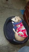 Desorientación en perros, Chihuahueño