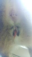 Ágatha, mi gato cruce hembra, tiene secreción en pene/vagina y sangrado en vagina/pene
