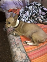 Lassy, mi perro ratonero valenciano hembra, tiene diarrea, dificultad al masticar y dificultad al tragar