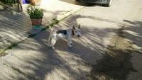 Incontinencia en perros, Fox Terrier