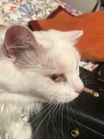 Se rasca en los oídos en gatos, Angora turco