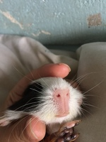 Estornudos en roedores, Cobaya