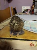Respira con dificultad en aves, Jilguero europeo