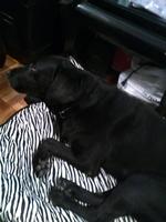 Inclina la cabeza en perros, Labrador
