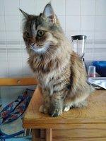 Orina demasiado frecuentemente en gatos, Persa tradicional