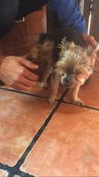 Inclina la cabeza en perros, Yorkshire terrier