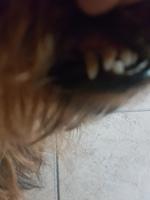 Dificultad al masticar en perros, Yorkshire terrier