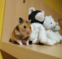 Viernes, mi roedor hámster sirio o dorado macho, tiene pérdida de pelo