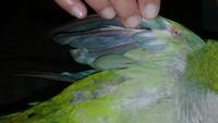 Paco, mi ave cotorra argentina macho, tiene heridas, pérdida de pelo y picor y rascarse