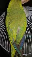 Picor y rascarse en aves, Cotorra argentina