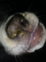 Kyra, my female dog pit bull, has wheezing, loads of mucus in the nose, and sneezing