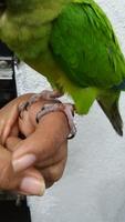 Nyko, mi ave periquito verde oliva hembra, tiene un problema de salud