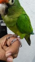Heridas en aves, Periquito verde oliva