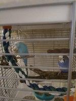 Nemo, mi ave periquito azul cielo macho, tiene inclina la cabeza