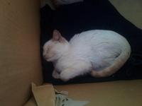 Lucky, mi gato cruce de americano de pelo corto hembra, tiene heridas, gruñidos y agresiones