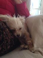 Bimba, mi perro cruce de bichon maltés hembra, tiene un problema de salud