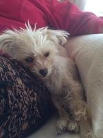 Desorientación en perros, Bichon maltés