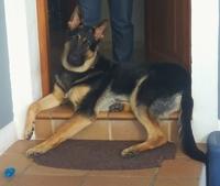 Dificultad para orinar en perros, Pastor alemán