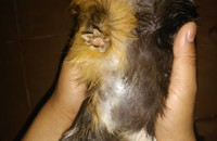 Pérdida de pelo en roedores, Cobaya americana