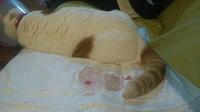 Jordan, mi gato común europeo macho, tiene sangre en orina