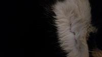 Mordeduras en gatos, Común europeo