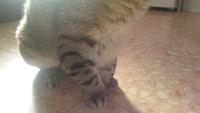 Nubes o película transparente blanca en los ojos en gatos, Común europeo