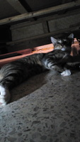 Elias, mi gato cruce de bengala macho, tiene sangre en orina