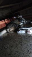 Sangre en orina en gatos, Bengala