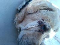 Secreción ocular en perros, Labrador