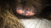 Toby, mi perro cruce de mastín español macho, tiene hinchazón testicular