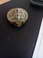 Debilidad en reptiles, Tortuga