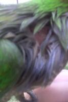 Picor y rascarse en aves, Periquito verde césped