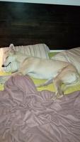 Flatulencia en perros, Galgo inglés