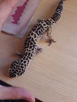 Eusebio, mi reptil gecko leopardo macho, tiene dificultad al caminar o levantarse, cojera y debilidad