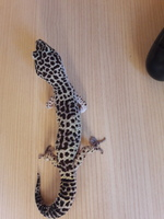 Dificultad al caminar o levantarse en reptiles, Gecko leopardo