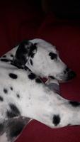 Desorientación en perros, Dálmata