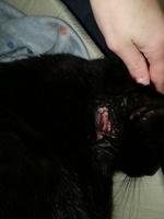 Mordeduras en gatos, común