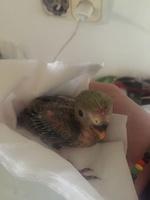 Mal apetito en aves, Agapornis roseicollis