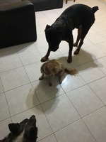 Flatulencia en perros, Rottweiler