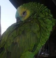 Respiración ruidosa en aves, Loro amazona cariazul
