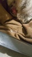 Anouk, mi gato cruce macho, tiene sangrado en vagina/pene