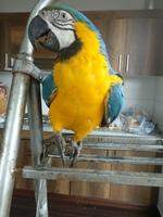 Juan, mi ave guacamayo azulamarillo hembra, tiene dificultad al caminar o levantarse