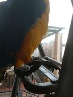 Dificultad al caminar o levantarse en aves, Guacamayo azulamarillo